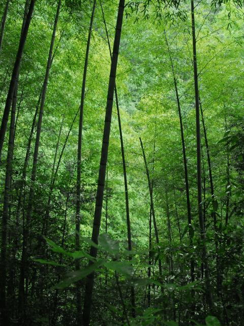 Essência Bamboo, 30 Ml.