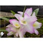 Dendrobium Nobile Adulta